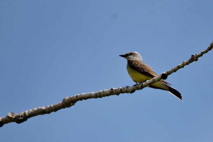 Western Kingbird (79) (1024x684)