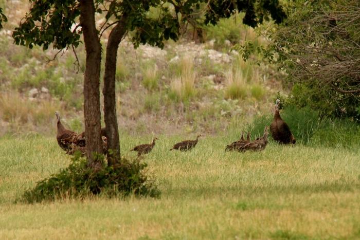 Wild Turkey (49) (1024x684)