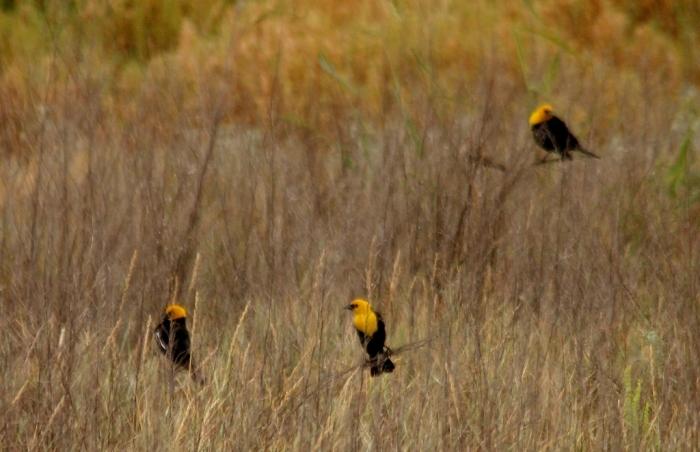 Yellow-headed Blackbird (30) (1024x662)