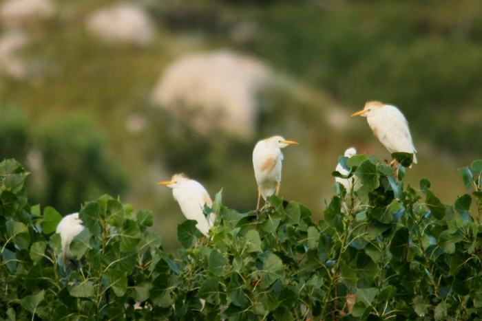 Cattle Egret (9) (1024x684)