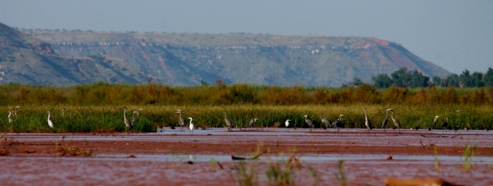Great Blue Heron, Cattle Egret (1024x389)