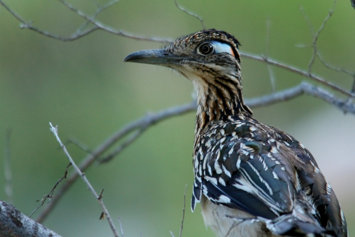 Greater roadrunner (200) (1024x684)
