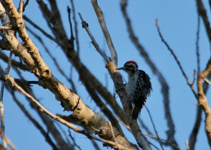 Ladder-backed Woodpecker (214) (1024x731)