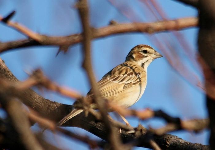 Lark sparrow (76) (1024x714)