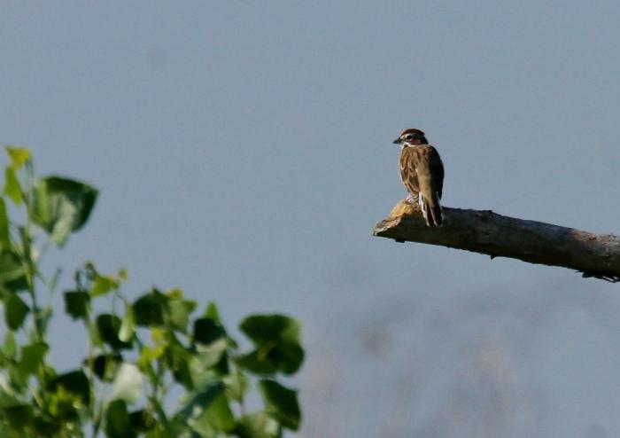 Lark sparrow (77) (1024x723)