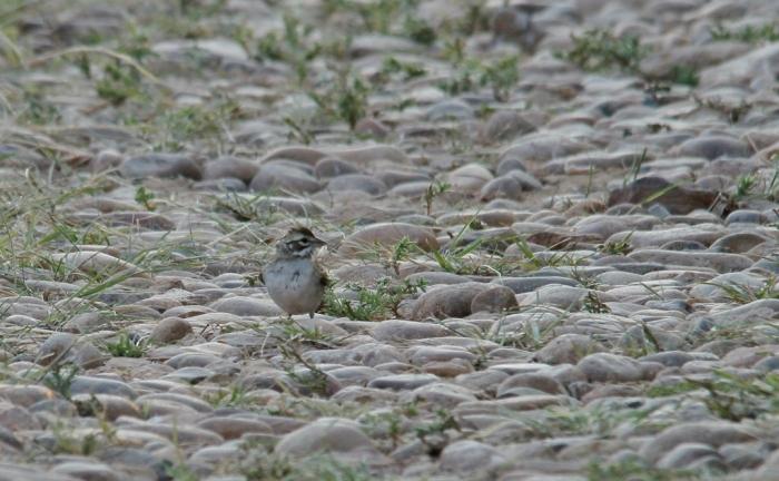 Lark Sparrow (78) (1024x633)