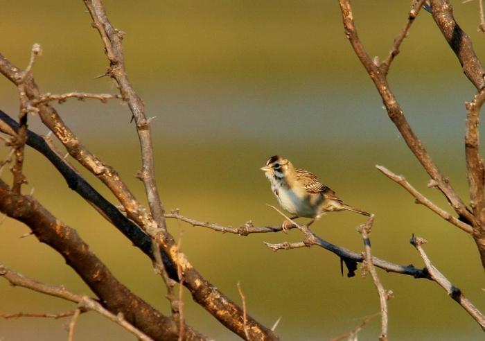 Lark Sparrow (83) (1024x720)