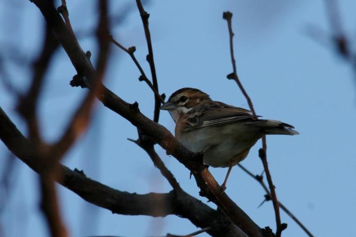 Lark Sparrow (85) (1024x684)