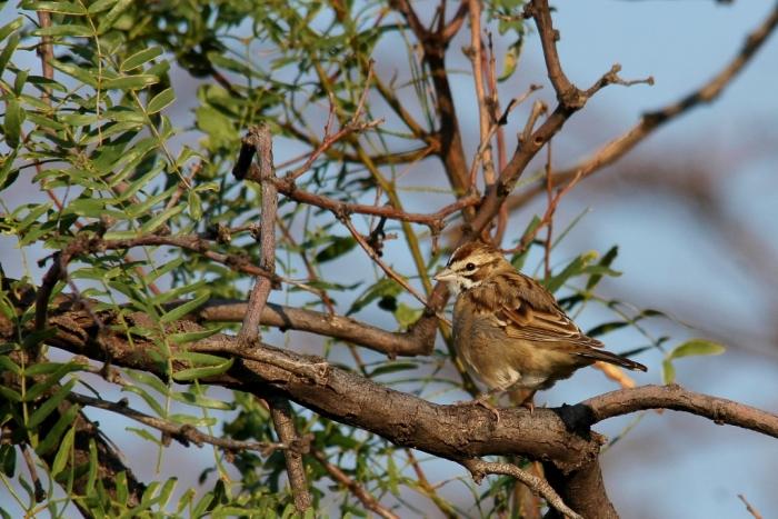 Lark Sparrow (87) (1024x684)