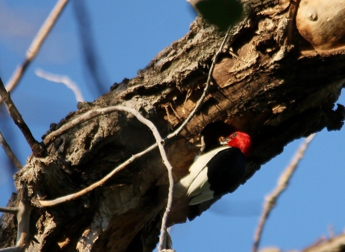 Red-headed Woodpecker (102) (1024x749)