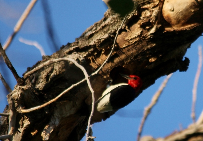 Red-headed Woodpecker (105) (1024x714)