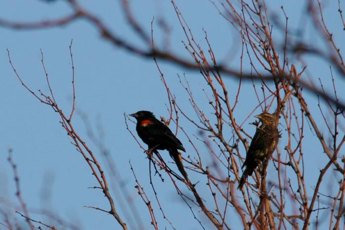 Red-winged Blackbird (86) (1024x684)