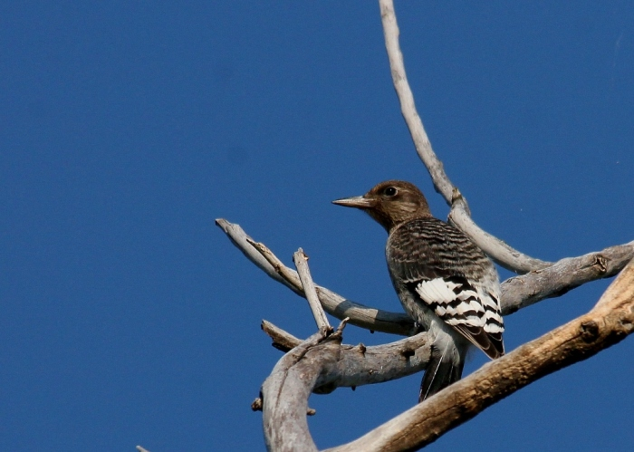 Redheaded Woodpecker juvenile (2) (1024x731)