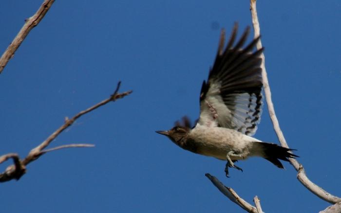 Redheaded Woodpecker juvenile (4) (1024x641)