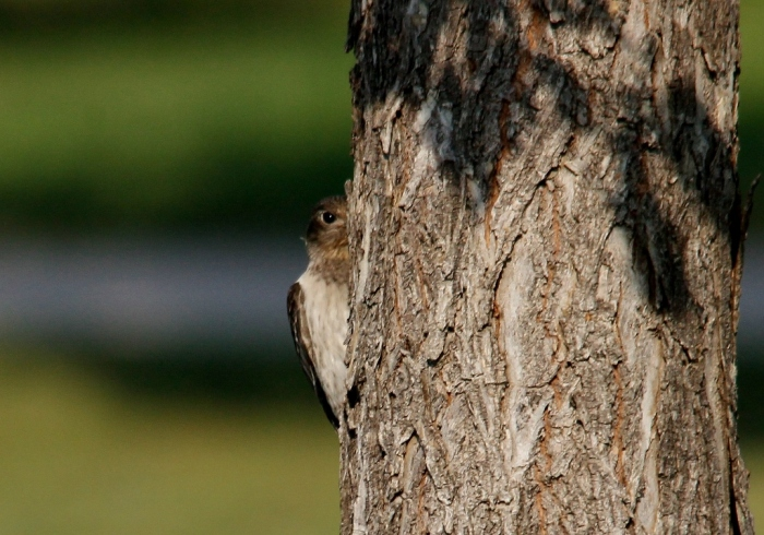 Redheaded Woodpecker juvenile (5) (1024x718)