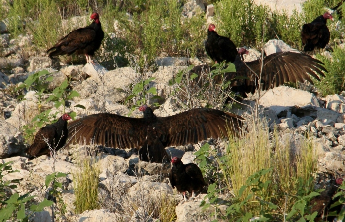 Turkey Vulture (11) (1024x661)