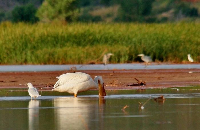 American White Pelican (16) (1024x665)
