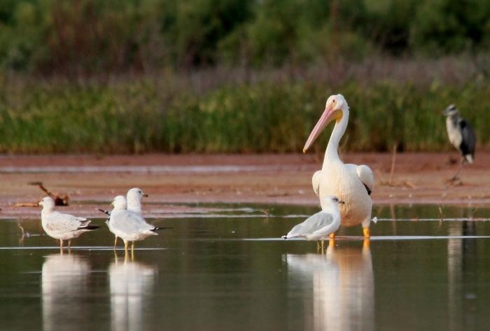 American White Pelican (23) (1024x692)