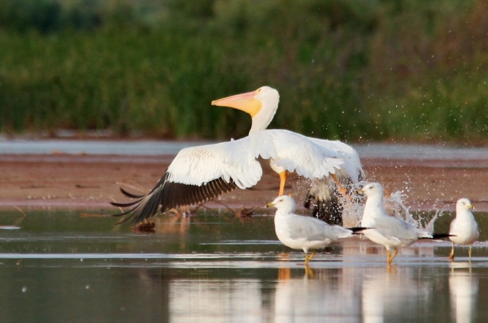American White Pelican (27) (1024x678)