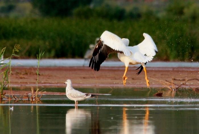 American White Pelican (28) (1024x688)