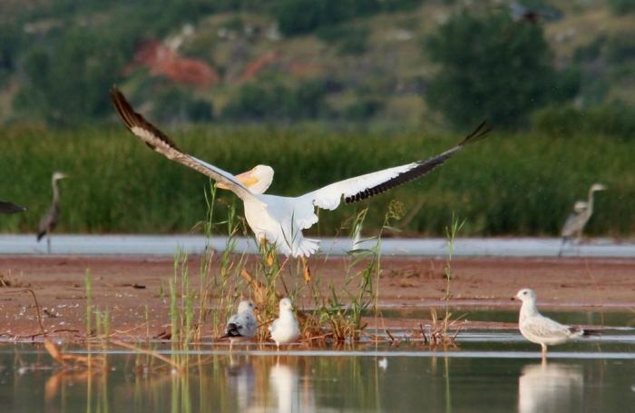 American White Pelican (29) (1024x666)