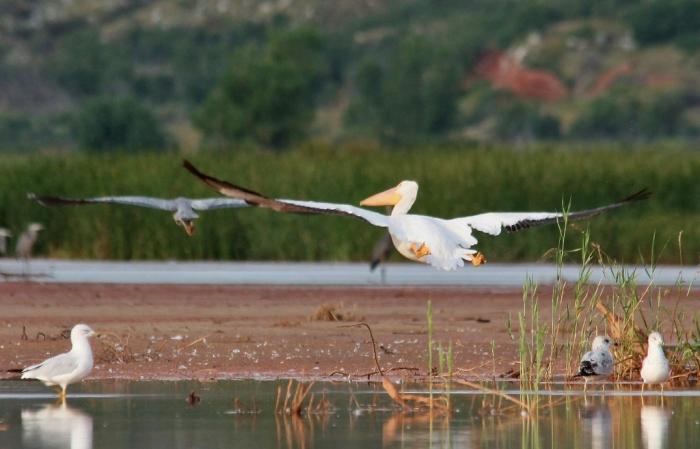 American White Pelican (30) (1024x657)