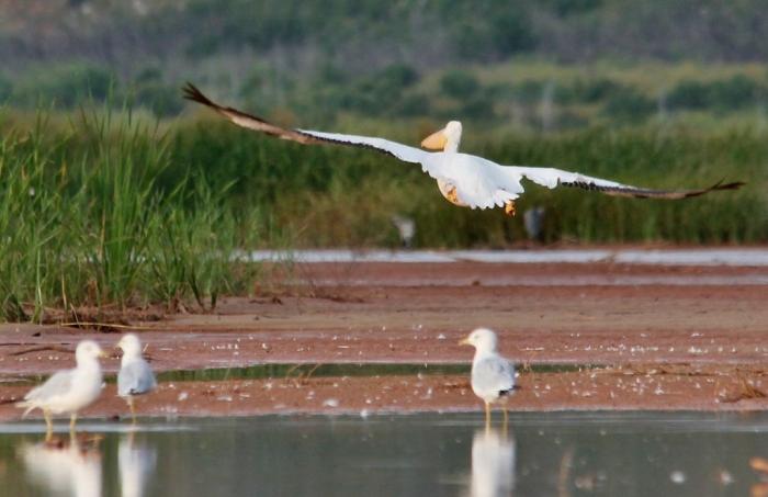 American White Pelican (32) (1024x663)