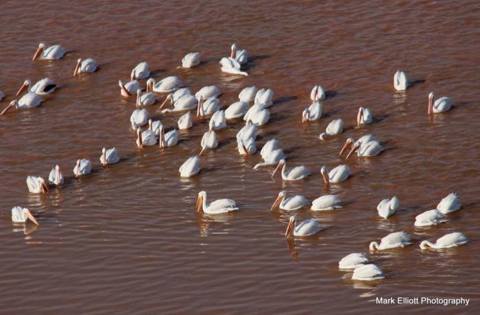 American White Pelican (5)-001 (1024x674)