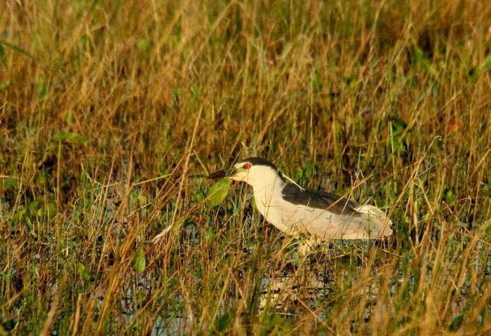 Black-crowned Night-Heron (1) (1024x702)