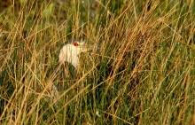 Black-crowned Night-Heron (38) (1024x660)