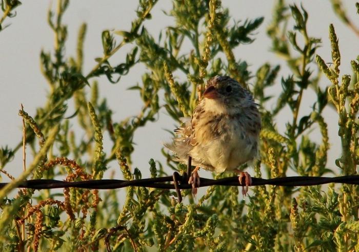 Cassin's Sparrow (37) (1024x720)