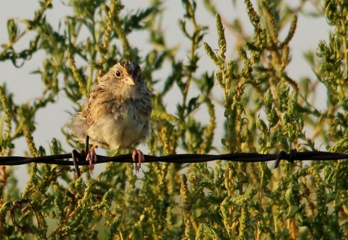 Cassin's Sparrow (38) (1024x706)