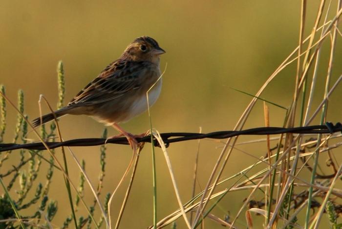 Grasshopper Sparrow (1) (1024x688)