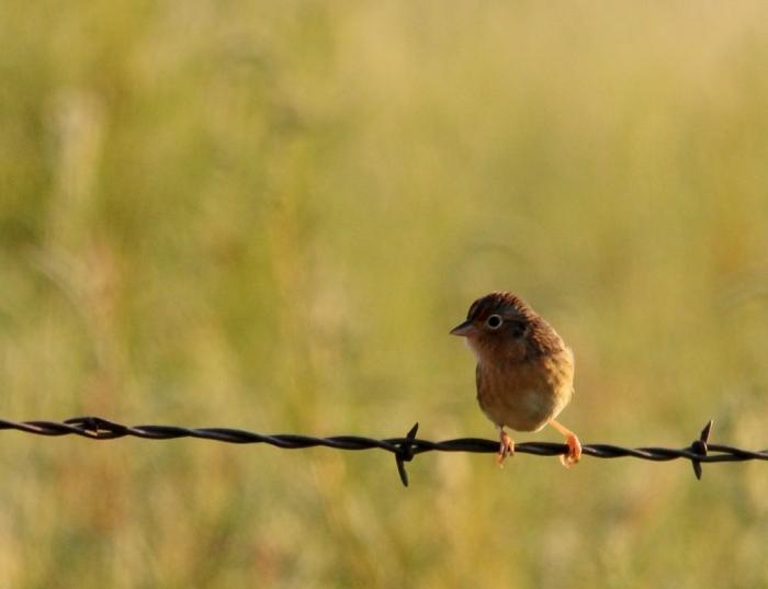 Grasshopper Sparrow (33) (1024x786)