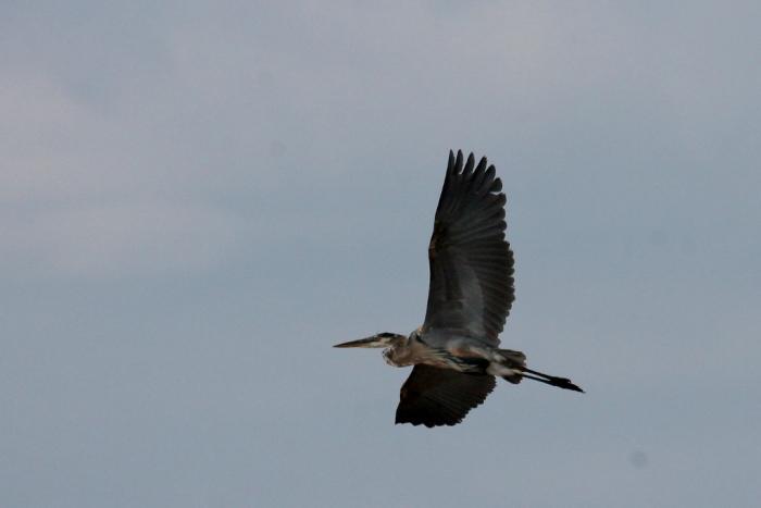Great Blue Heron (174) (1024x684)