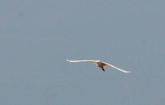 Great Egret (55) (1024x654)