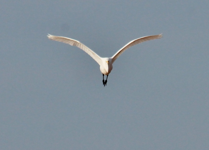 Great Egret (60) (1024x735)
