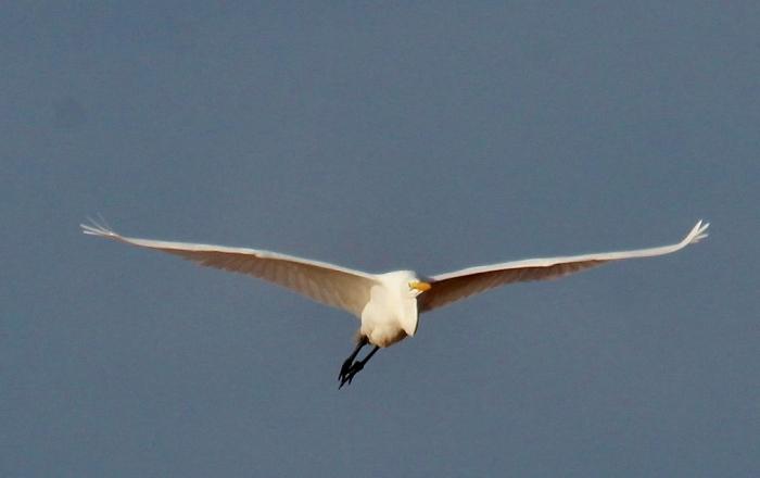 Great Egret (63) (1024x645)