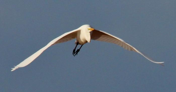 Great Egret (65) (1024x538)