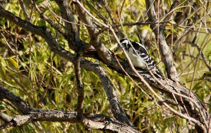 Hairy Woodpecker (1) (1024x648)