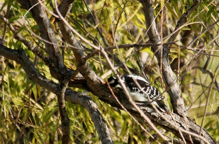 Hairy Woodpecker (6) (1024x678)