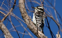 Hairy Woodpecker (7) (1024x632)