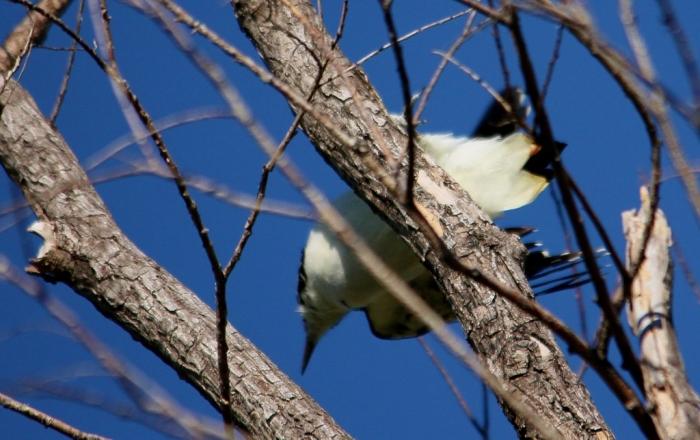 Hairy Woodpecker (8) (1024x645)