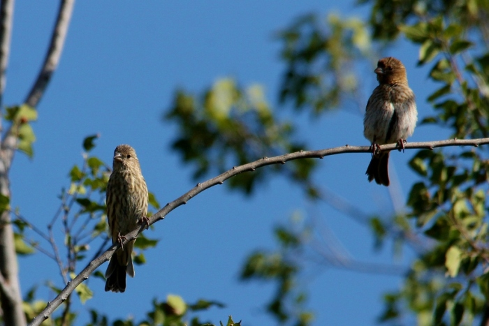 House Finch (1024x684)
