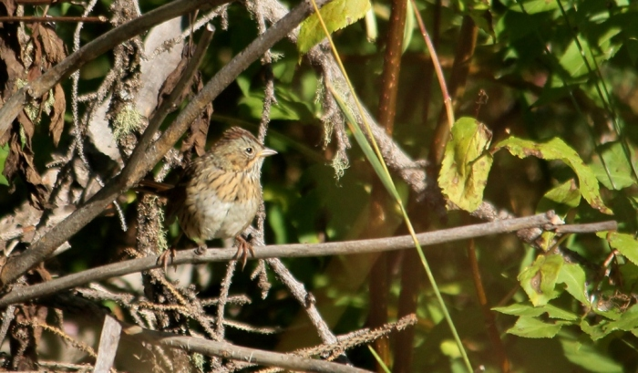Lincoln's sparrow (1) (1024x599)