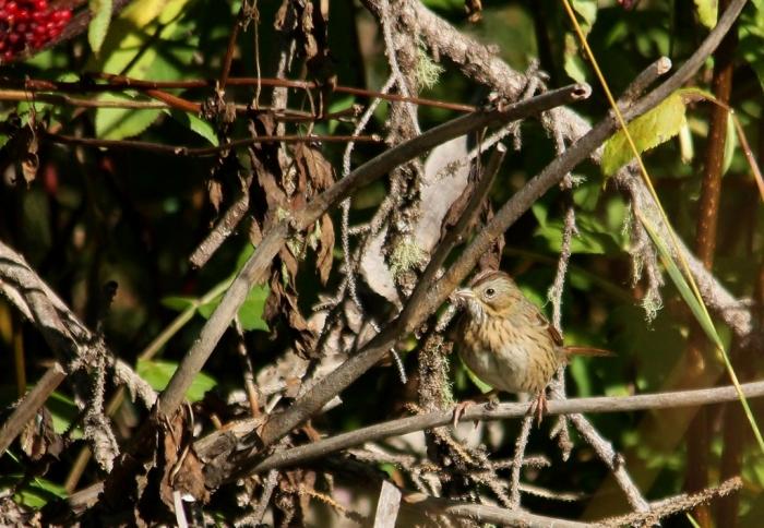 Lincoln's sparrow (2) (1024x709)