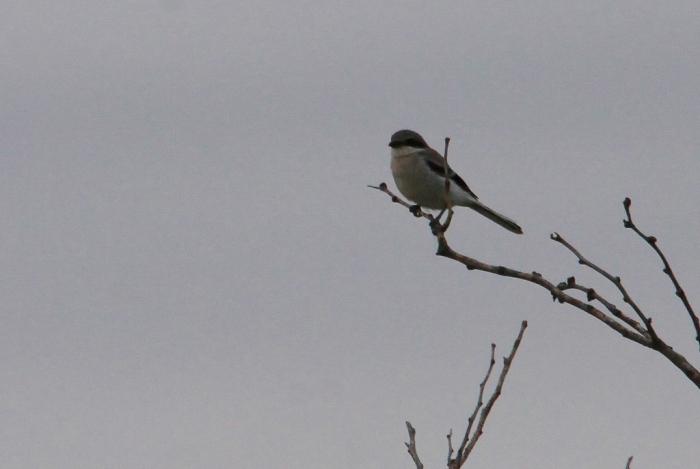 Loggerhead Shrike (24) (1024x687)