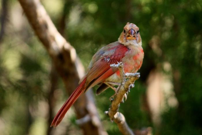 Northern Cardinal (109) (1024x684)
