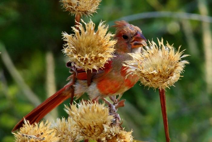 Northern Cardinal (112) (1024x684)