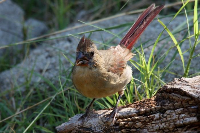 Northern Cardinal (113) (1024x684)